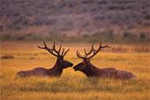 Elk Pictures